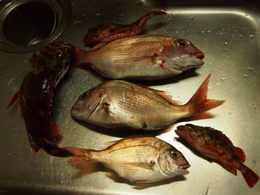 鯛とカサゴ