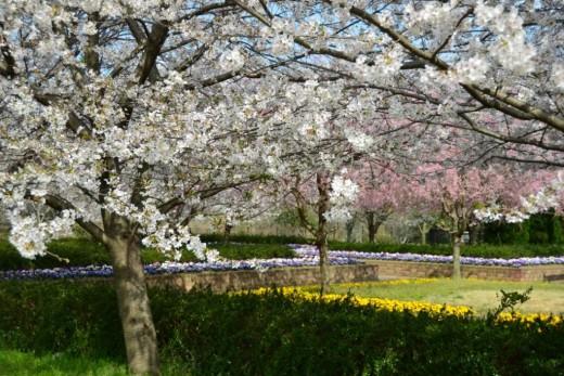 鈴鹿フラワーパーク・桜