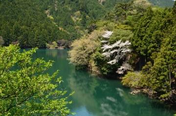 野洲川ダム 桜